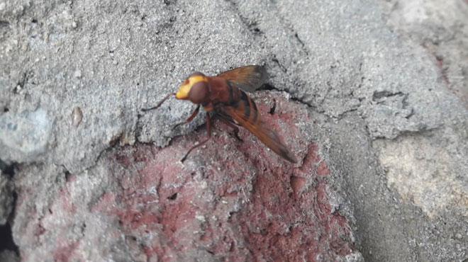 Katty se demande si cet insecte rayé est dangereux: la Volucelle se fait passer pour un frelon... pour manger à l'œil! (photos)