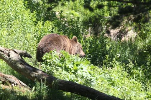 Ours: des ONG s'inquiètent des mesures d'effarouchement