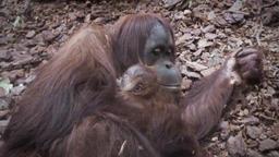 Pairi Daiza perd l'un de ses bébés orangs-outans de Sumatra