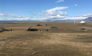 Islande- une cinquantaine de baleines pilotes meurent échouées sur une plage