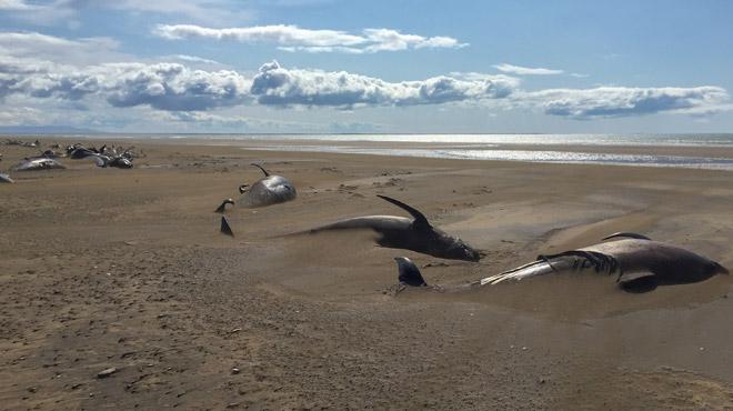 Une cinquantaine de baleines pilotes meurent échouées sur une plage en Islande