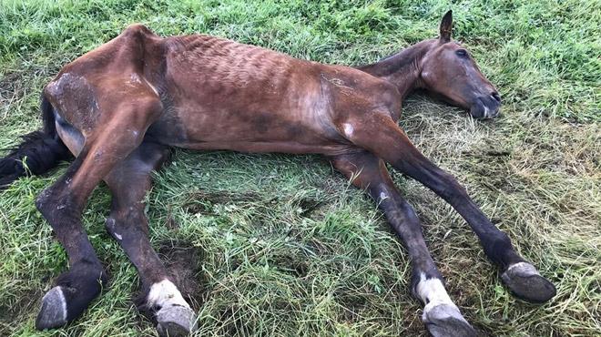 Lessines: un cheval en train d'agoniser retrouvé chez Pascal Delcourt, le marchand de bestiaux déjà condamné