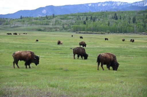 Une fillette chargée par un bison dans un parc aux Etats-Unis