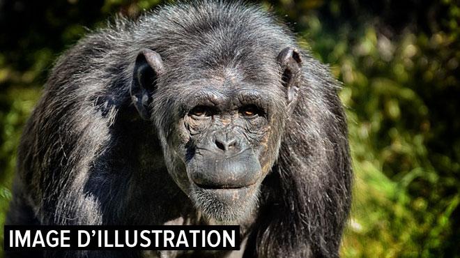 Un chimpanzé arrache en partie la main d'un soigneur de zoo en France: