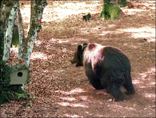 Ariège: une ONG pro-ours critique la préfète, après un effarouchement
