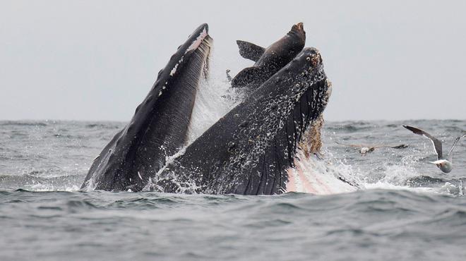 Voici la SPECTACULAIRE photo d'un lion de mer tombant dans la gueule d'une baleine