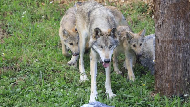 Pairi Daiza accueille neuf loups du Canada (photos)