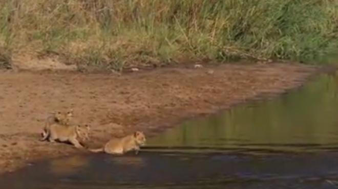 L'instant mignon du jour: des lionceaux traversent un ruisseau pour la première fois en Afrique du Sud