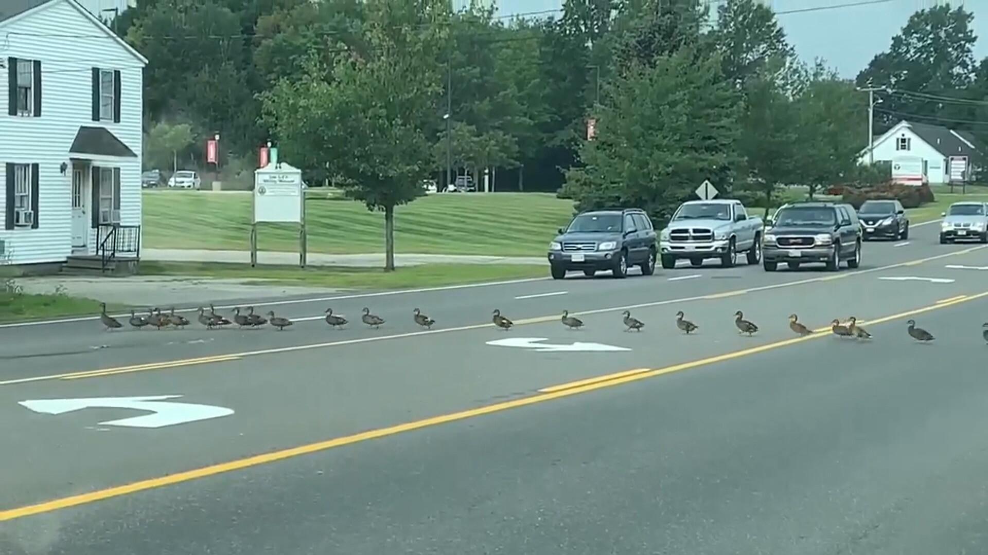 Des automobilistes laissent passer 45 canards sur une grande route des États-Unis