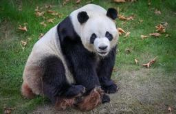 Deux bébés pandas sont nés au parc animalier de Pairi Daiza