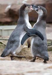 Un couple de pingouins homosexuels du zoo de Berlin va accéder à la paternité