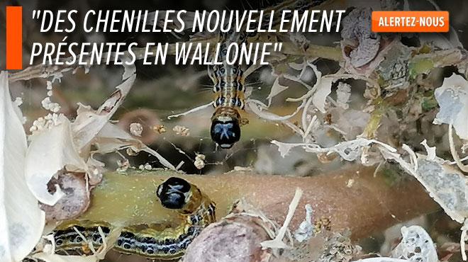 Des chenilles ravagent les buis d'Alain à Binche: comment se prémunir de cette espèce?