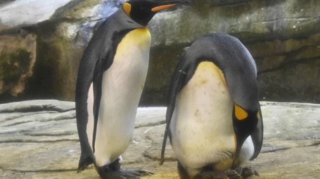 Après avoir couvé une pierre faute de mieux, un couple de manchots mâles a désormais un œuf au zoo de Berlin