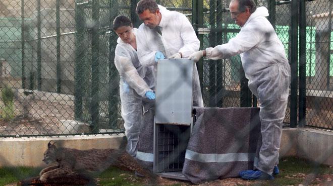 Maladie mystérieuse en Floride: lynx et panthères traînent soudainement la patte