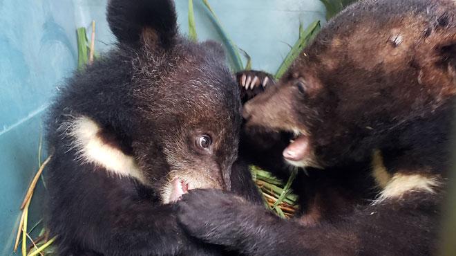 L'horreur du trafic de la bile d'ours continue: 5 oursons noirs asiatiques découverts dans des cages au Laos