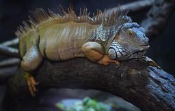 Les pays membres de la Cites souhaitent limiter le commerce de reptiles rares