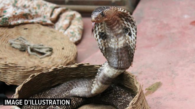 Un cobra en fuite crée une psychose dans une ville allemande