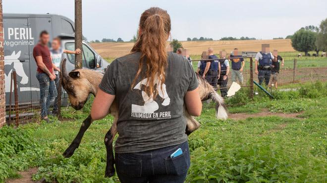 Pression sur le marchand de chevaux d'Ogy multirécidiviste: nouvelle saisie de 14 jeunes chèvres (photos)