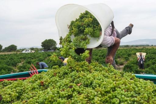 Vendanges: moins de vin en 2019, en raison du cocktail gel+canicule