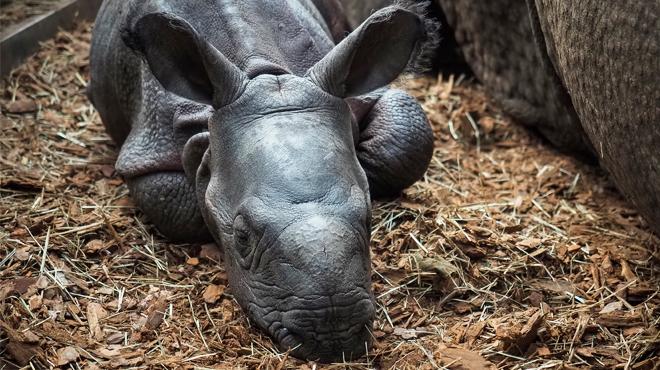 Le bébé rhinocéros né en France s'est montré: les photos sont craquantes