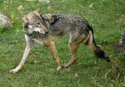 Un cinquième loup identifié en Wallonie