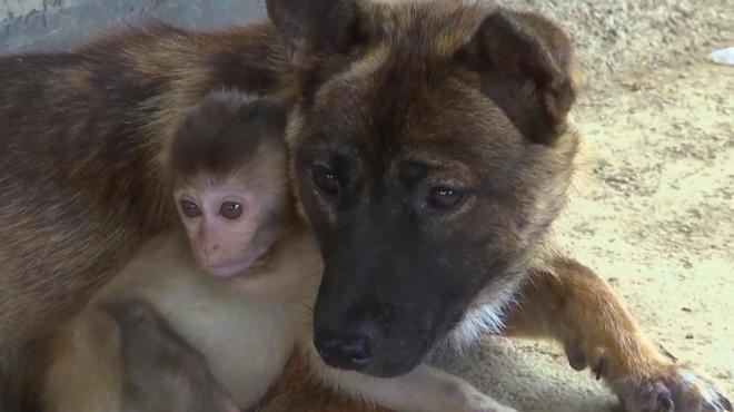 En Chine, ce bébé macaque blessé et ce chien sont devenus inséparables