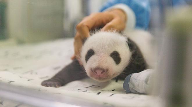 Un des bébés pandas de Pairi Daiza présenté en vidéo: Les jumeaux fêtent leur 1 mois