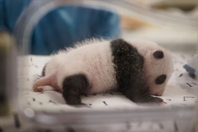 Panda-Nouveau-1