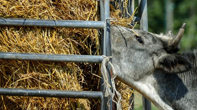 Sécheresse et canicule ont STOPPÉ la poussée d'herbe: comment ce phénomène provoque-t-il une chute des revenus pour les éleveurs?