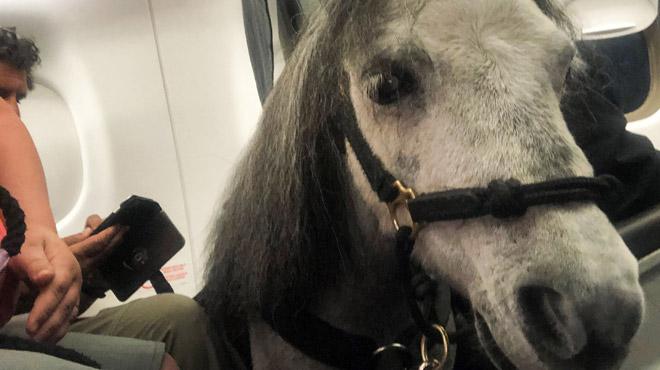 Une Américaine voyage en cabine d'un avion avec son cheval miniature