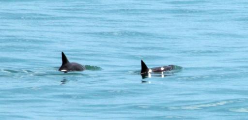 Mexique: six marsouins d'une espèce classée en danger d'extinction repérés