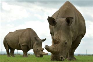 Italie- deux embryons pour sauver le rhinocéros blanc du Nord de l'extinction