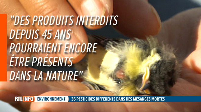 Hécatombe chez les mésanges en Belgique: un cocktail de 36 pesticides différents retrouvés dans leurs corps