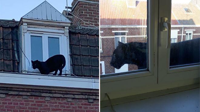 Une panthère noire se prend pour... un chat de gouttière en France- une intervention hors norme pour les pompiers (photos) 1
