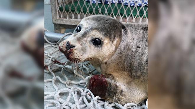 Un pêcheur inflige un violent coup de pied à un bébé phoque à Dunkerque: l'animal n'a pas survécu