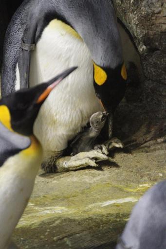 Un manchot empereur est né au Zoo d'Anvers