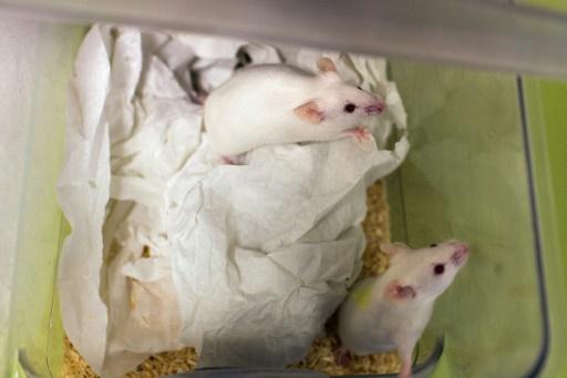 Des souris mâles capables de féconder après un séjour dans l'espace selon une étude