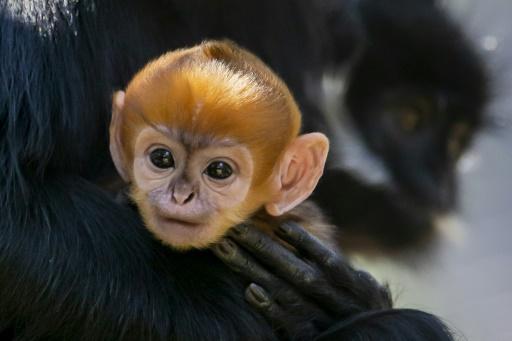 Naissance dans un zoo de Sydney d'un singe appartenant à une espèce rare