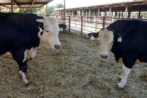 Veaux, vaches, cochons aux gènes édités? Entre grandes promesses et sérieux écueils