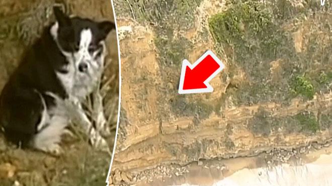 Sauvetage périlleux dans une falaise en Australie: Jimmy, un adorable Border Collie, était pris au piège