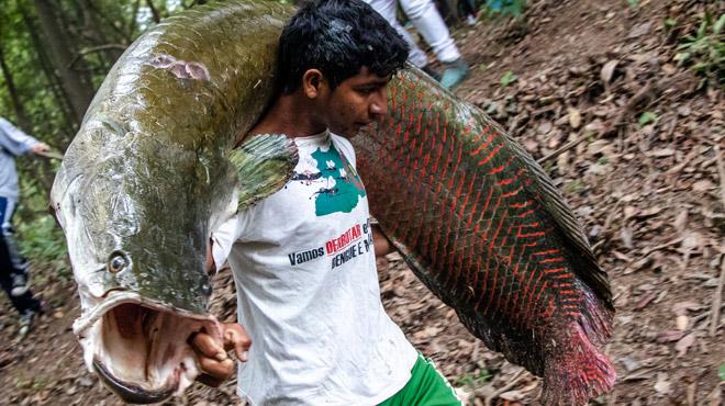 Voici le PIRARUCU, un poisson géant d'Amazonie prisé par les gastronomes (photos)