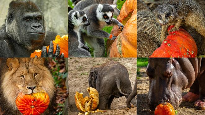 Tous les animaux aiment les citrouilles: la preuve aux zoos d'Anvers et Plankendael en vidéos