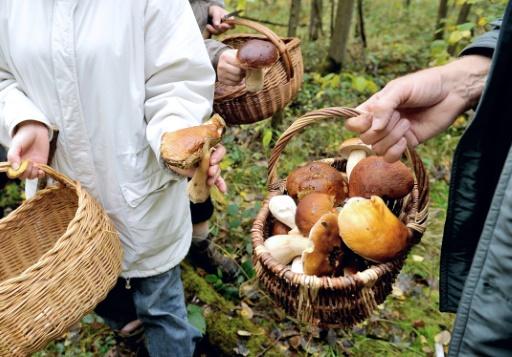 Augmentation des intoxications liées aux champignons