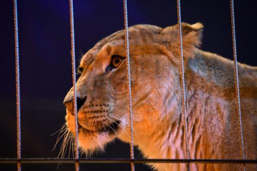 Deux tiers des Français défavorables aux animaux sauvages dans les cirques