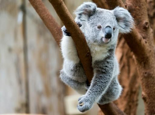 Australie: des centaines de koalas auraient péri dans un incendie