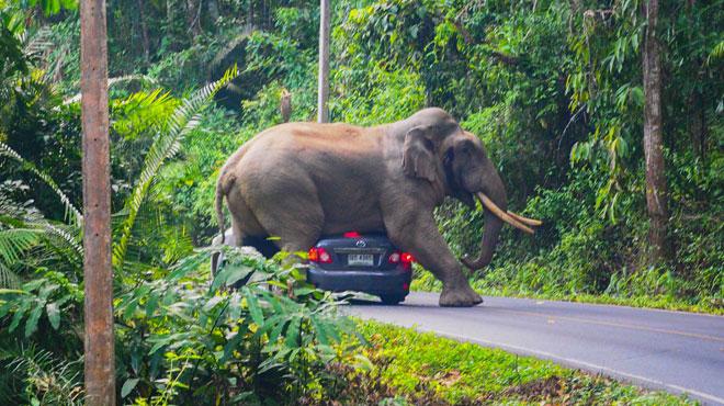 Images INSOLITES en Thaïlande: cet éléphant se pose tranquillement sur une voiture en marche... pour se gratter