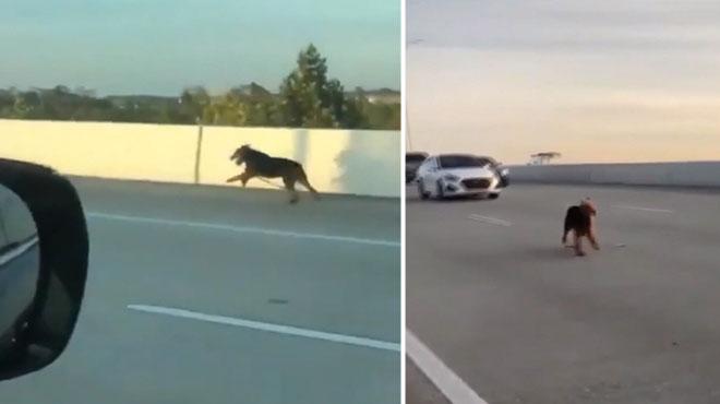 Sauvetage d'un chien sur une autoroute à Houston: