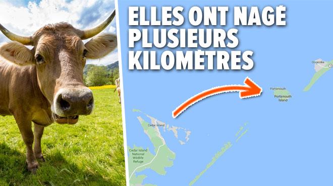 Trois vaches emportées par l'ouragan Dorian viennent d'être retrouvées sur une île américaine