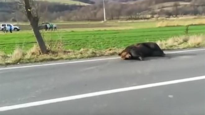 Roumanie: un préfet limogé pour avoir laissé agoniser un ours