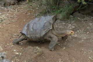 Galapagos- amende salée pour un chauffeur coupable d'avoir écrasé une tortue